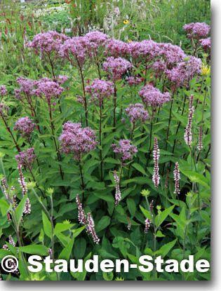 Staudenfoto zu Eupatorium dubium u0027Baby Joe ®u0027 (Garten-Dost - gartenpflanzen