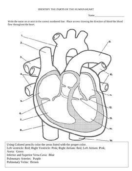Heart Diagram And Color Activity Heart Diagram Heart Anatomy