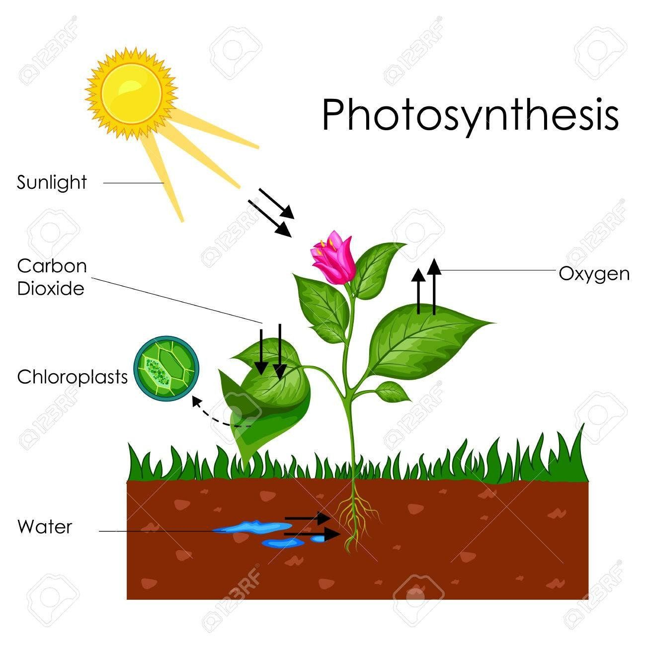 Photosynthesis Amp Cellular Respiration Worksheet Education Chart Of Biology For Photosynthesis Photosynthesis And Cellular Respiration Cellular Respiration [ 1300 x 1300 Pixel ]