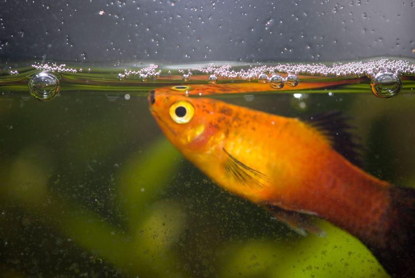 O plati, bastante colorido e de fácil reprodução, está na lista de peixes mais procurados para aquário | Portal Animal - o canal de pets do Estadão