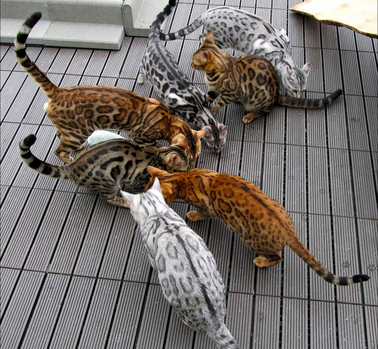 A Visual Guide To Bengal Cat Colors Patterns Bengal Cat Cat Colors Bengal Kitten