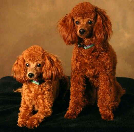 Pin By Yodonna Collins On Dawgs Toy Poodles For Sale Poodle