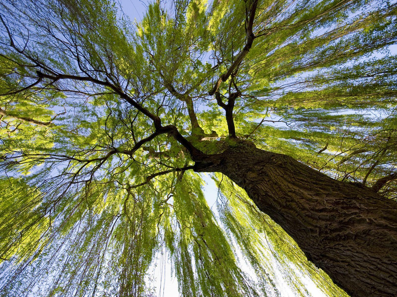 Willow Tree | Daisies N Trees | Pinterest | Willow tree, Trip ...