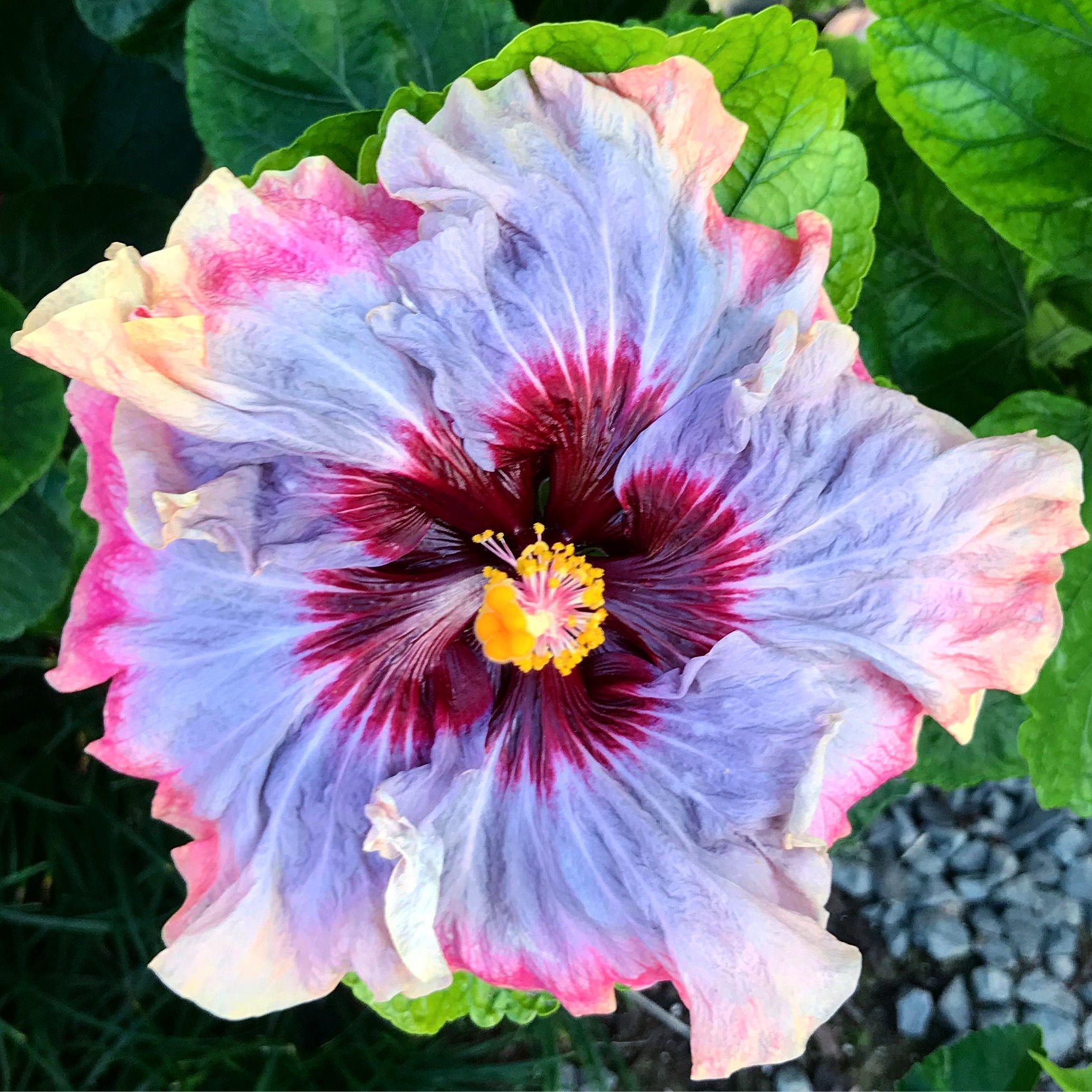 Dark princess hibiscus hibiscus of hawaii pinterest dark dark princess hibiscus izmirmasajfo Images