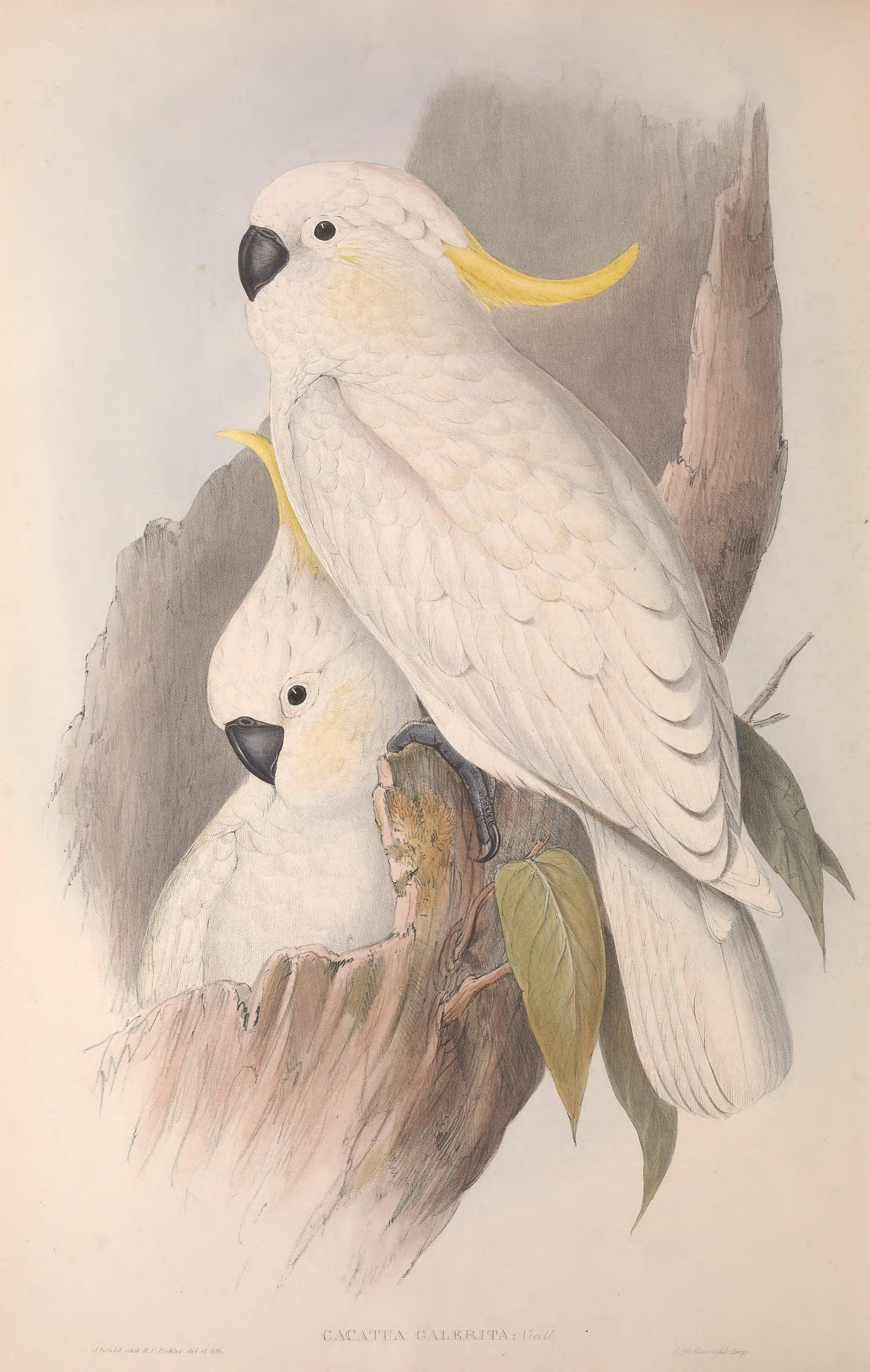 John Gould art painting Vintage  Australia Native  Birds print black cockatoo