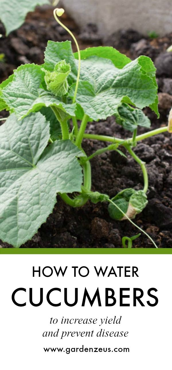 The Gardenzeus Guide To Watering Cucumbers Melons And Squash