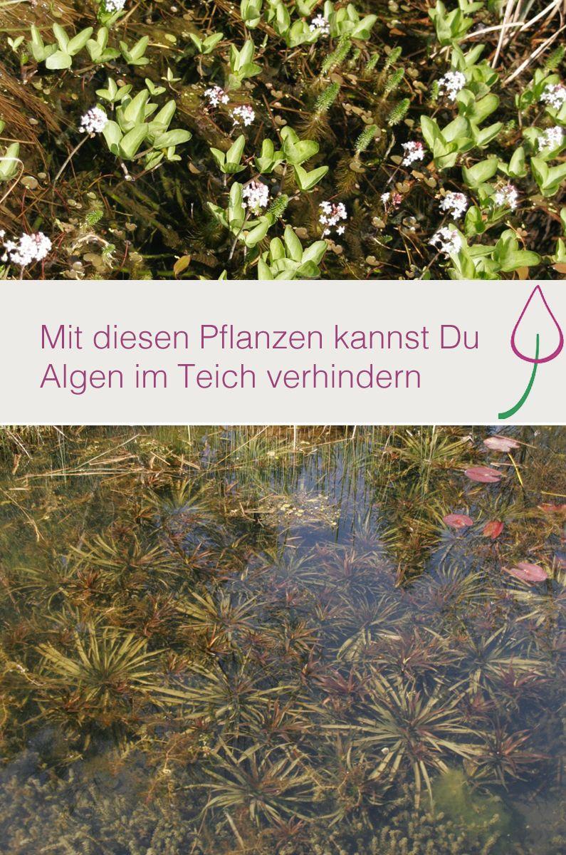 wasserpflanzen für teich