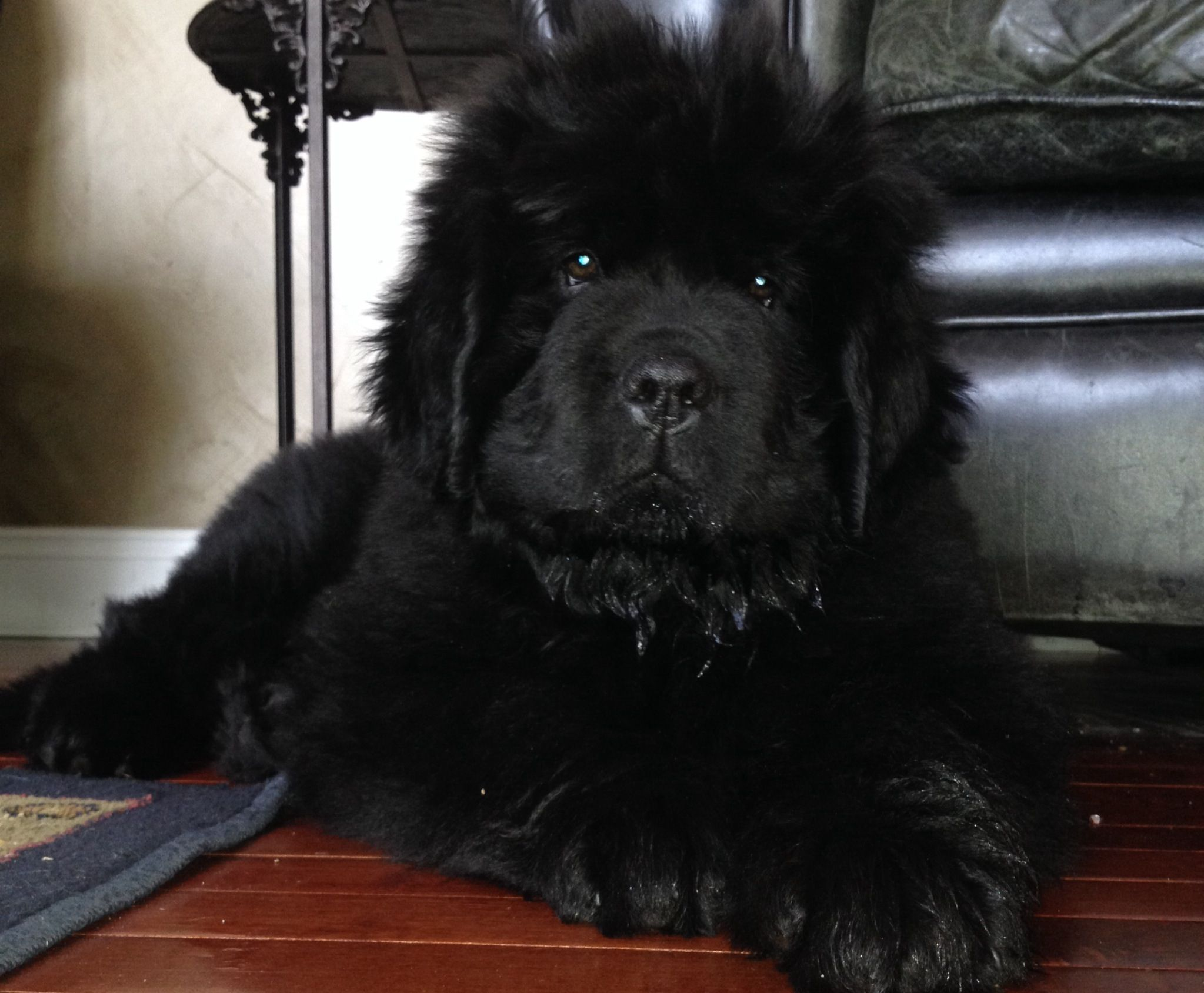 Newfoundland puppy Legend Landseer dog, Newfoundland