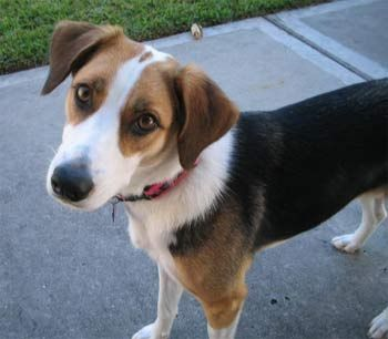 harrier dog photo | Breeds of small dogs : best small dog breeds: beagle small dog breed ...