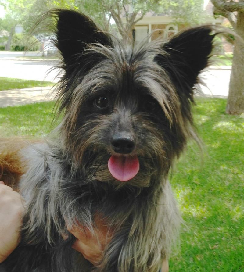 Adopt addie on in 2020 yorkie dogs terrier mix dogs
