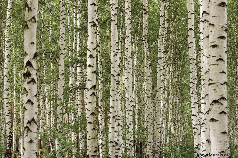Birch Tree Forest Wallpaper In 2018 Janas Pins Pinterest