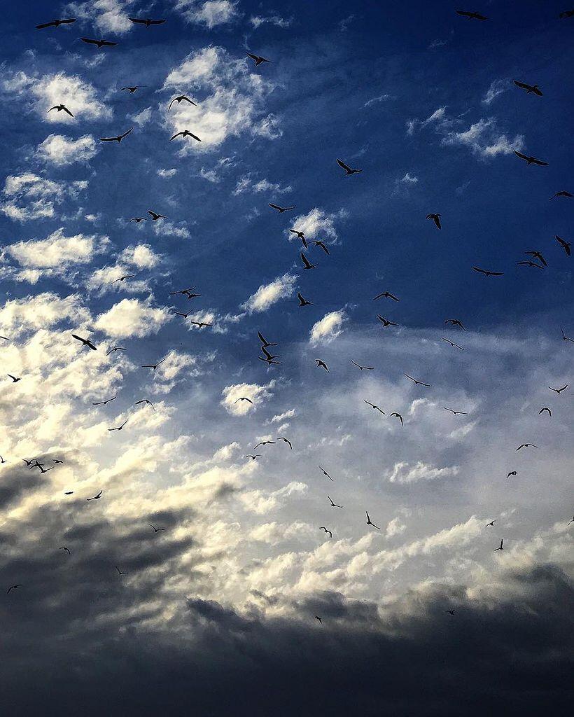 Birds. #sky #clouds #cloudscape #birds #flockofbirds #bluesky #nature #cloudscape #iphone6s #beaniedee