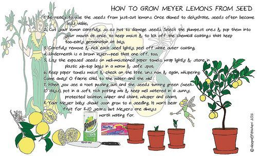 How to Grow Meyer Lemon Trees from Seed#grow #lemon #meyer #seed #trees