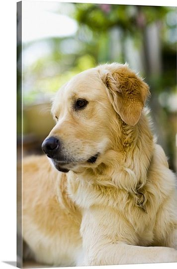 Portrait Of Golden Retriever Dog Toenails Yeast In Dogs Dogs