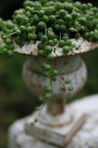 """senecio rowleyanus a.k.a. """"string of pearls"""""""