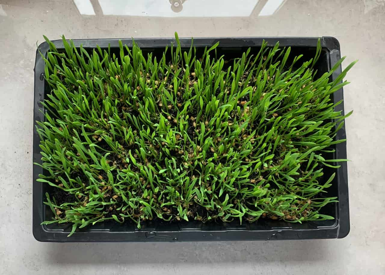 How to grow wheatgrass at home with without soil in