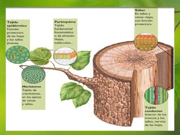 Los tejidos vegetales están formados por células eucariotas de tipo ...
