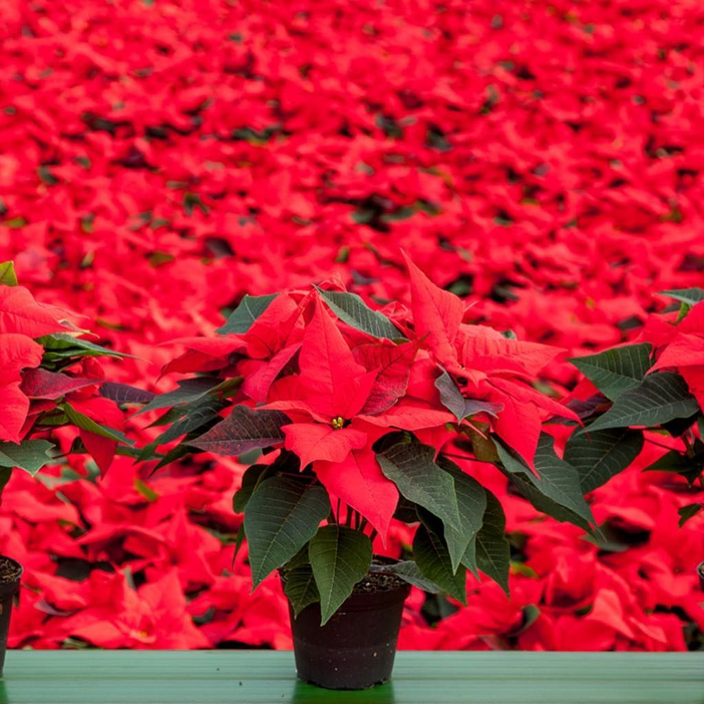 As This Is National Poinsettia Day We Thought It Fitting To Share With You Our Work For The Fabulous Hills Plants In 2020 Plant Nursery Web Development Design Plants