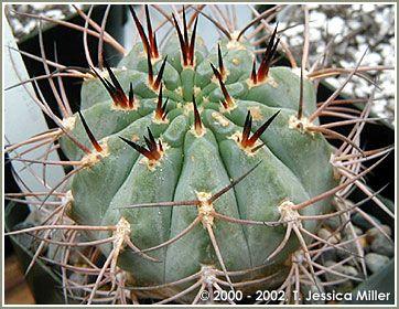 Acanthocalycium Minutum Cactos Cactos