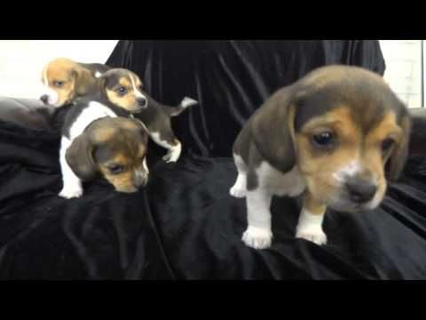 Miniature Pocket Beagle Puppies Tiny Toy Beagles Pure Bred 5 Weeks