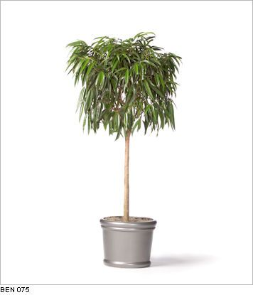 plants for windowless office. ficus alii standard live office floor plants for indoor use windowless
