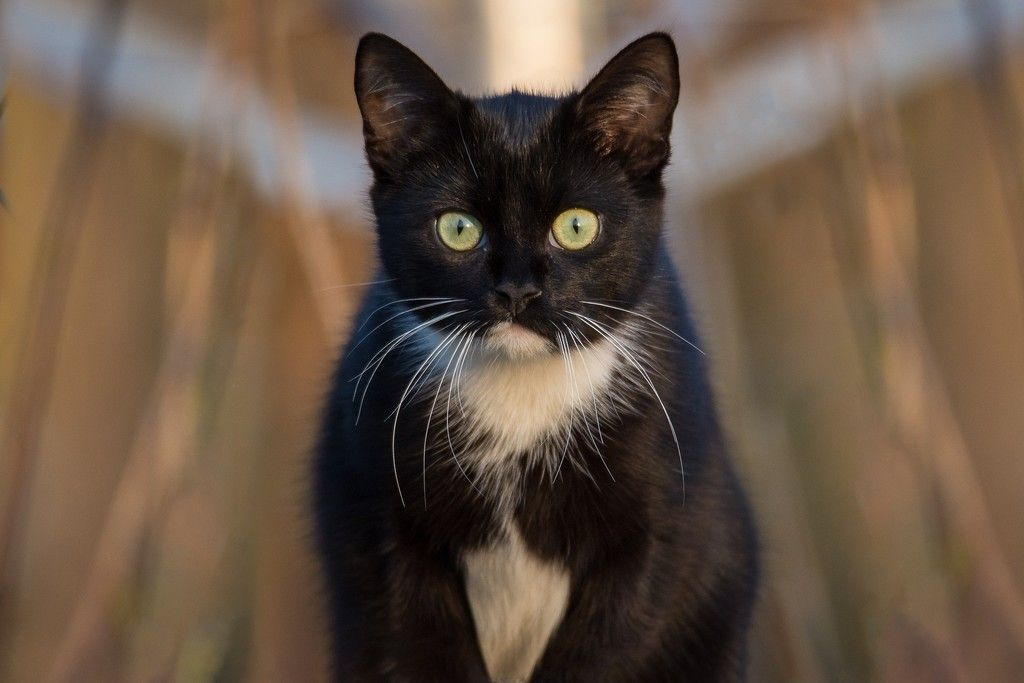Black Cat Animal Stare White Fur Wallpaper Animals Cats White Cats
