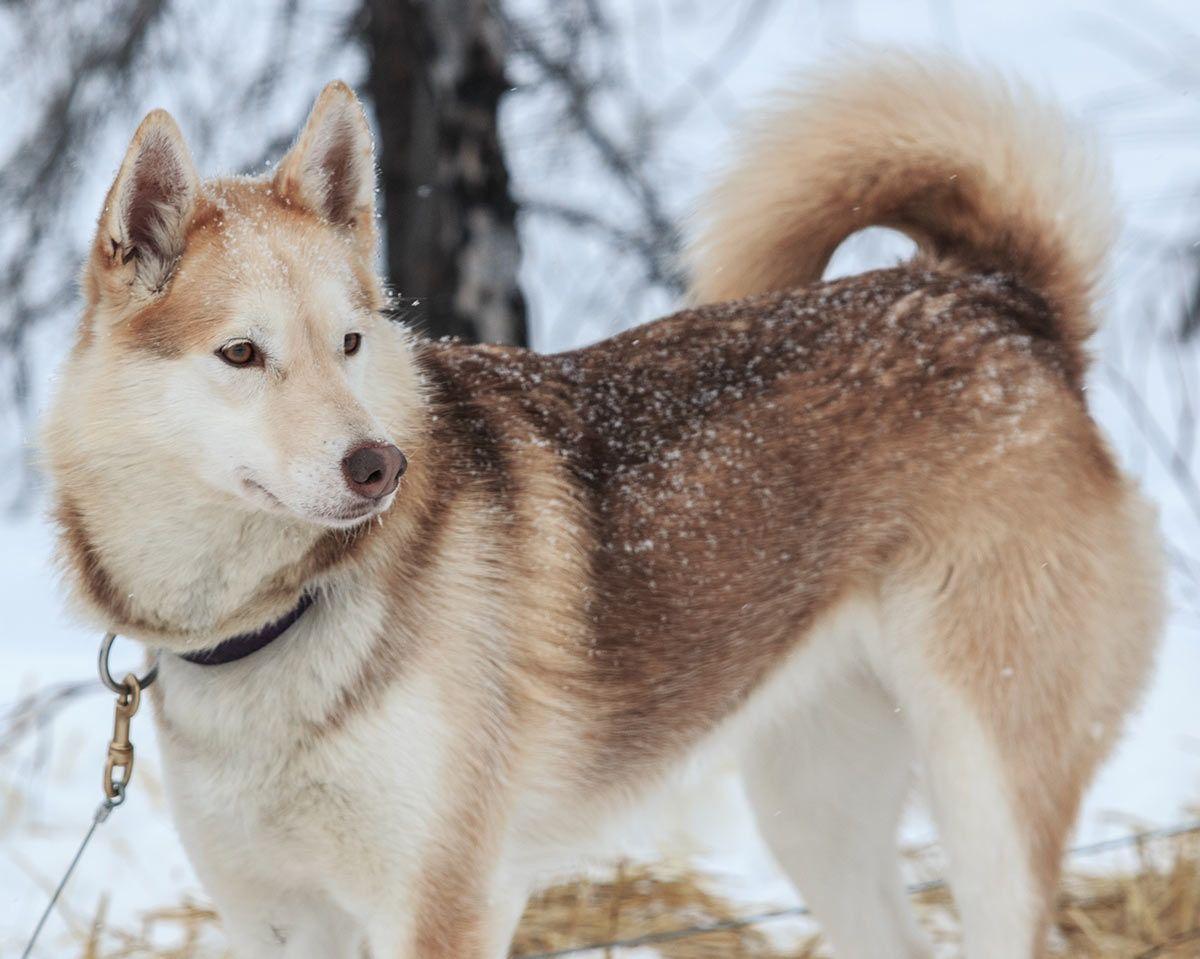 Alaskan Husky Pictures Siberianhusky Alaskan Dog Husky Puppy