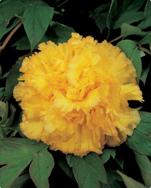 Tree peony kinshi the serene perfection of these rare double golden tree peony kinshi the serene perfection of these rare double golden yellow imperial tree peonies spectacular flowering shrubs imported from japan mightylinksfo