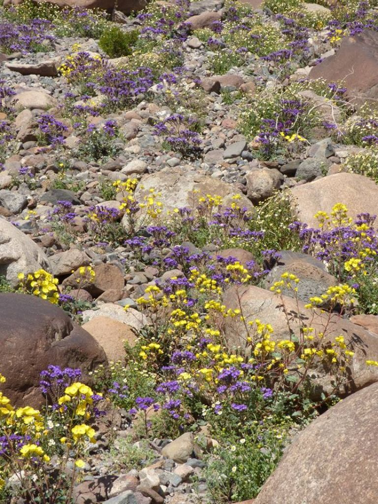 Millions Of Flowers Blanket Death Valley In First Super Bloom In A