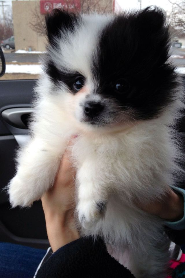 I Want This Dog So Bad Cute Baby Animals Pomeranian Puppy Cute Animals