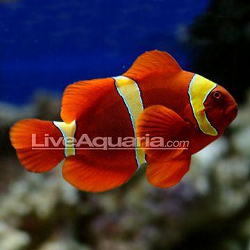 Yellowstripe Maroon Clownfish Tank Bred Mated Pair Clown Fish Saltwater Aquarium Fish Fish