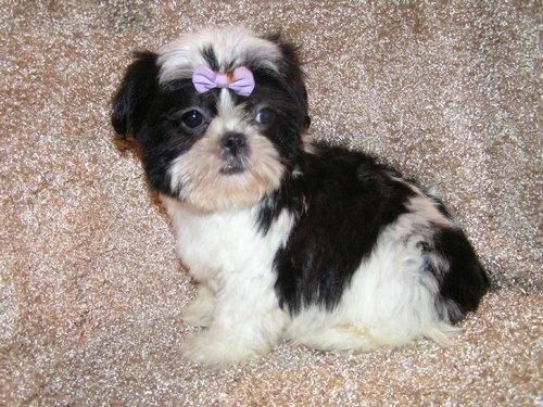 shitsu dogs Cute and Adorable Shih Tzu puppies for