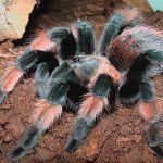 ARKive image GES018206 - Mexican redleg tarantula