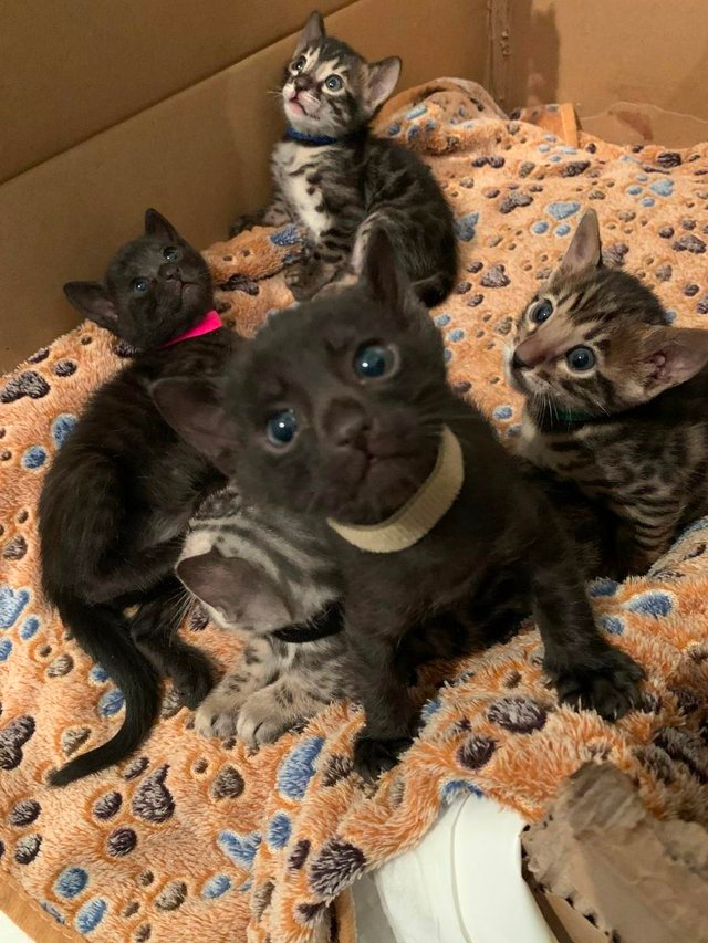 Bengal Kittens For Sale Brown Charcoal Melanistic Brown In 2020