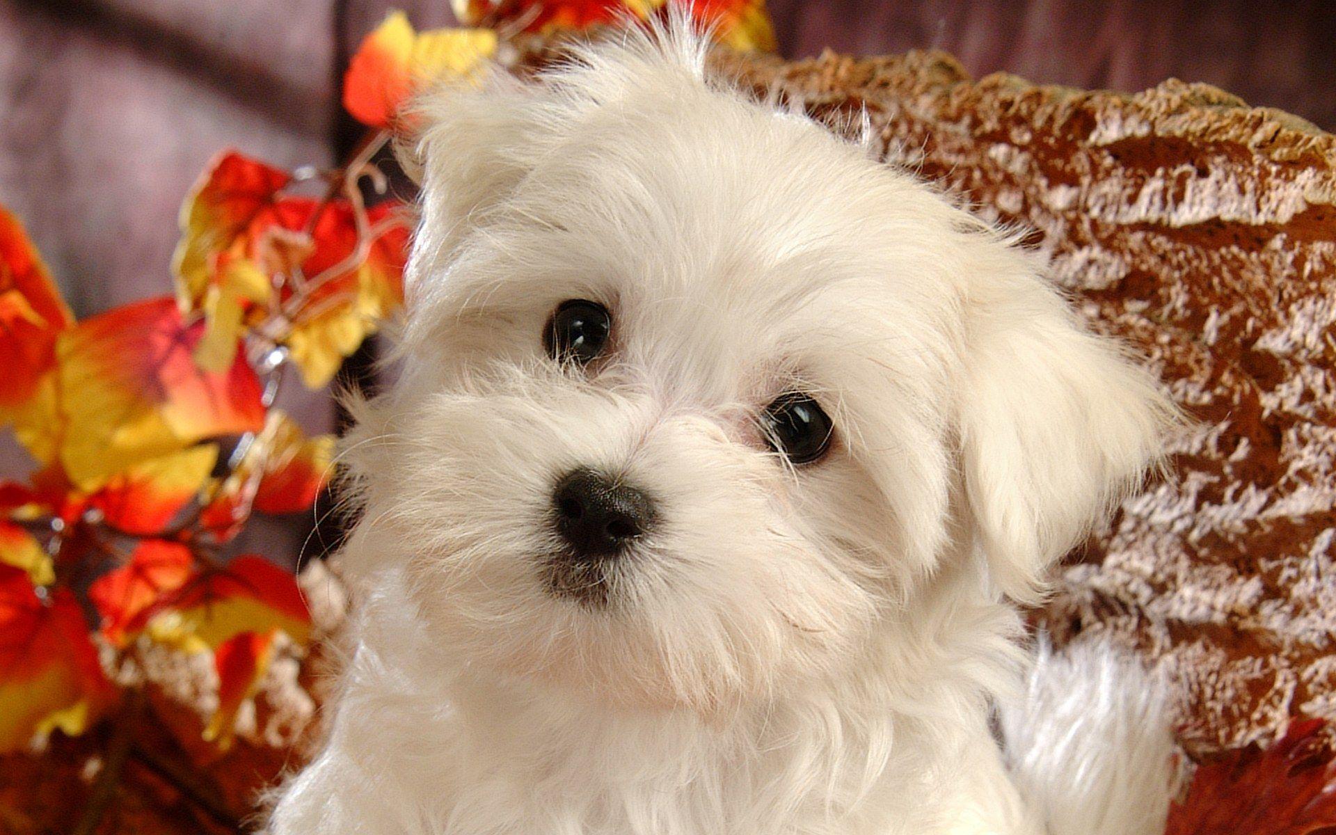 Dog Photos Fluffy Maltese Puppy Dogs White Maltese Puppies