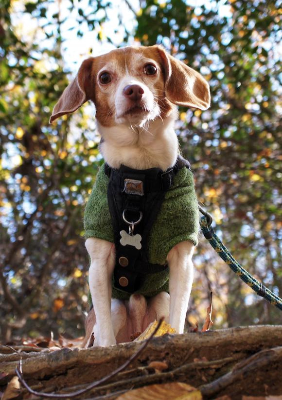Pocket Beagle on a hike in North Carolina cute dog
