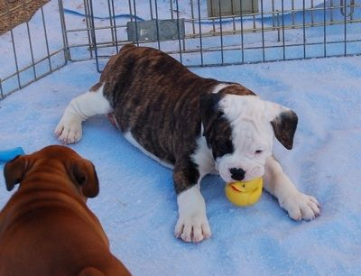 Valley Bulldog Bull Boxer Puppy English Bulldog Boxer Hybrid