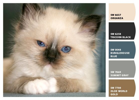 Birman kitten colors Paint colors from Chip It by Sherwin