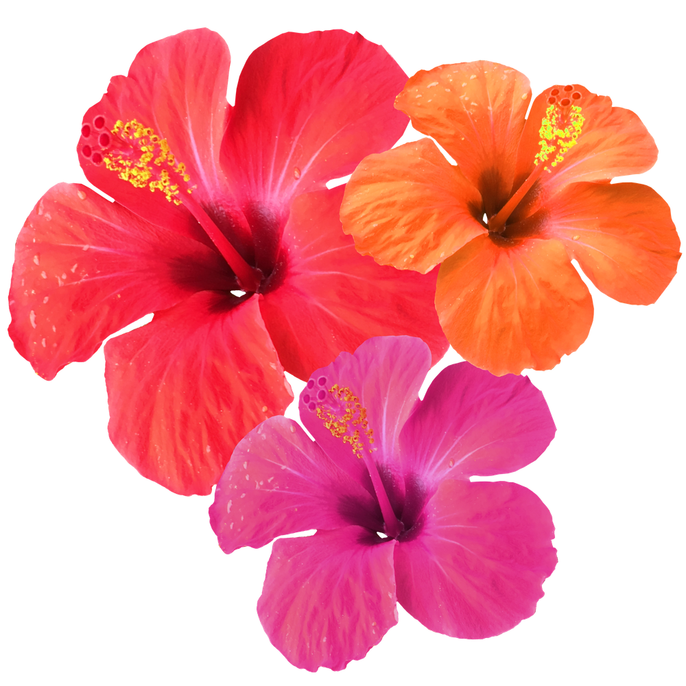 Red Orange Pink Hibiscus Sticker By Mch Home White 3 X3 In 2020 Flower Painting Flower Wallpaper Hibiscus