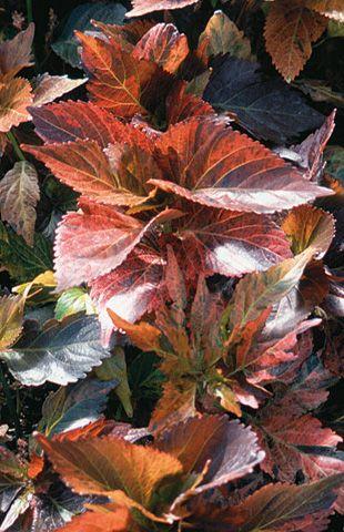 Acalypha Wilkesiana Copperleaf Gardening Flowers Perennials