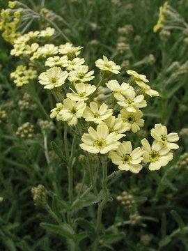 Achillea King Edward Bluestone Perennials Achillea Garden Vines Sandy Soil