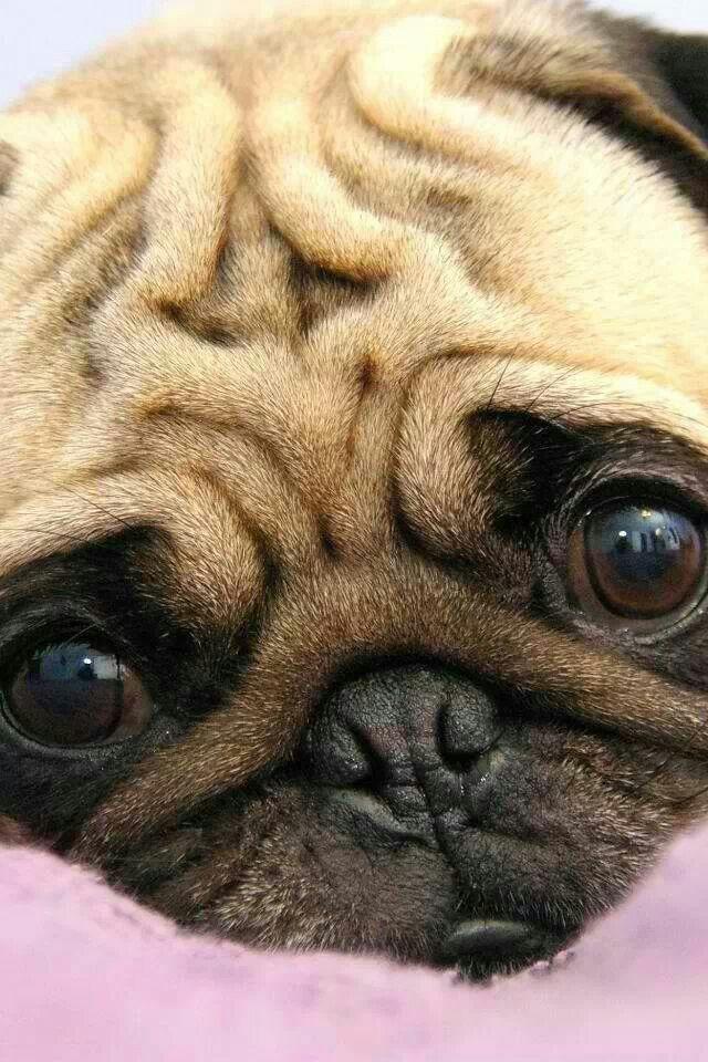 Pugs Always Look So Worried Must Be The Wrinkled Forehead Cute