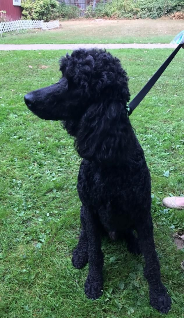 Adopt Forest On Dog Boarding Poodle Dogs