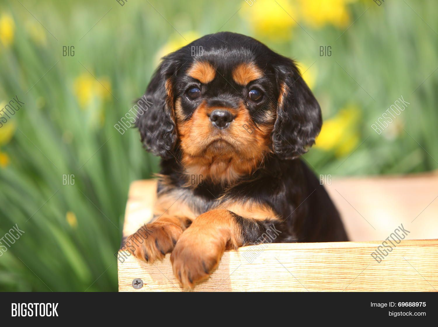 An Adorable Black And Tan Cavalier King Charles Spaniel Puppy Sits