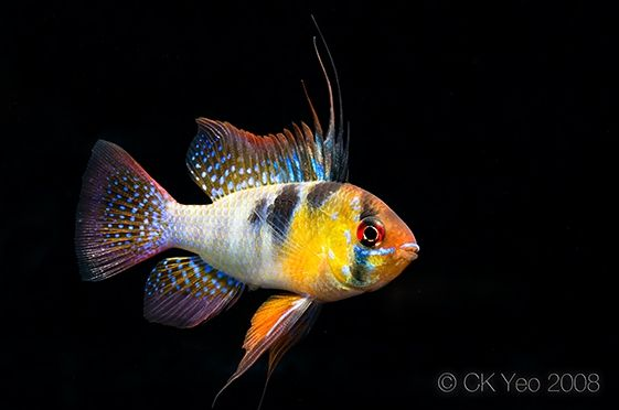 Mikrogeophagus Ramirezi Ram Apistogramma Ramirezi Papiliochromis Ramirezi Microgeophagus Ramirezi Cichlids Aquarium Fish Freshwater Aquarium Fish