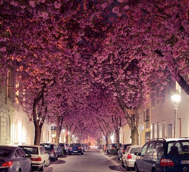 Cherry Blossom Avenue Germany Travel Aesthetic Bonn Germany Beautiful Views
