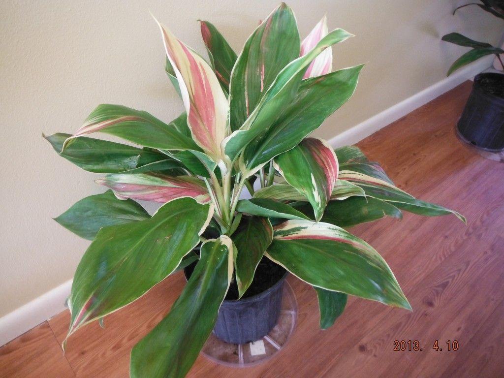 Best Kitchen Gallery: Cordyline Exotica Houseplants Pinterest Houseplants of Tropical House Plant Cordyline on rachelxblog.com