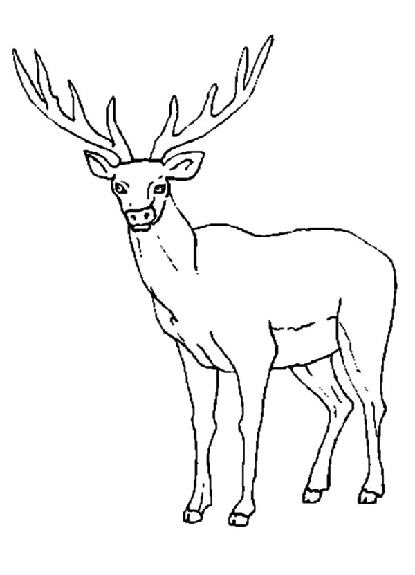 Female Elk Coloring Pages
