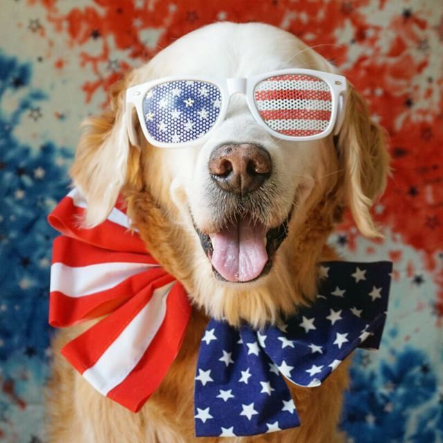 Happy Fourth of July from goldenwoofs on instagram.  #dogs