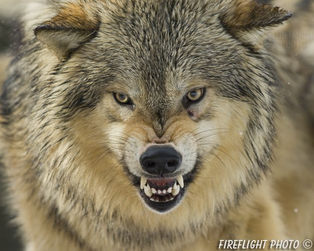 Image Result For Wolf Snarling